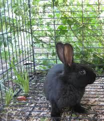 new zealand meat rabbits breeding genetics question backyard