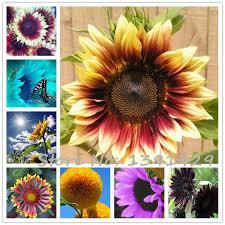 new 40pcs bag 24 colors sunflower seeds organic helianthus annuus