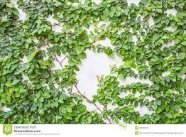 19 plants that climb up walls apartments finishing works