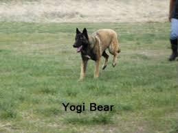 belgian malinois vermont belgian malinois kelly and yogi bear litter announcement march 5