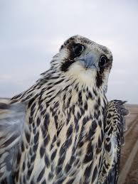 wild peregrine facts and images page 141 falconry forum iff