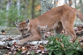 Utah wildlife images Humane society protests increase in utah cougar hunt permits st jpg