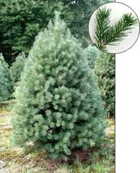 scotch pine christmas tree scotch pine trees for sale concord ohio lake county