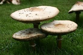 mushrooms u2013 growing walter reeves the georgia gardener
