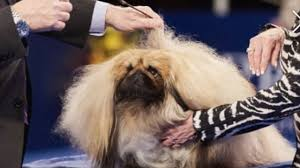 afghan hound national dog show viewers think this pekingese was robbed at the national dog show