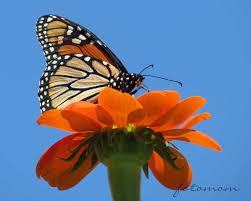 monarch butterfly u2013 geekmom