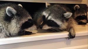 baby raccoons kiss youtube