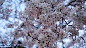 cherry blossom tips for viewing voyage