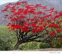 image of poinsettia tree