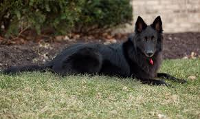 what is a belgian sheepdog 15 dog breeds that making training a breeze sit stay fetch