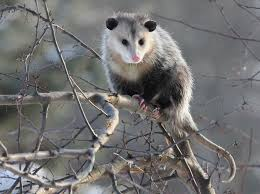 Rhode Island Wild Animals images How to deal with problem opossum in rhode island jpg