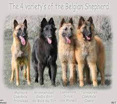 belgian sheepdog traits belgian shepherd toujour