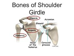 Anatomy Of The Shoulder Girdle Bng 345 Lecture 15 The Shoulder Anatomy Disease Final Friday Nov