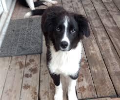 australian shepherd puppy 4 months gus jpg