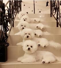 cost of a bichon frise 17 best images about 99 problems but a bichon anit one on