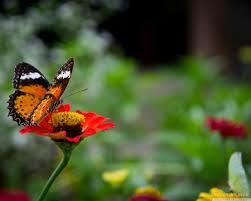 beautiful butterfly on flower hd desktop wallpaper widescreen