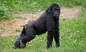 western lowland gorilla smithsonian u0027s national zoo