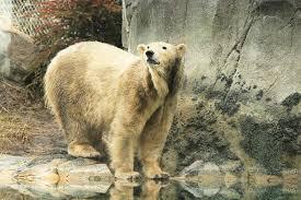 Zoo Lights Salt Lake City by Polar Bear At Hogle Zoo Diagnosed With Terminal Kidney Failure