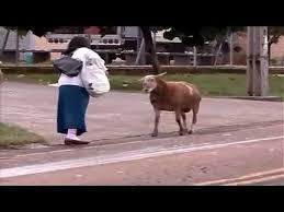 imagenes chistosas youtube videos chistosos y graciosos cabra loca suelta youtube