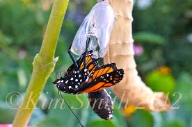 monarch butterfly stock photos smith designs