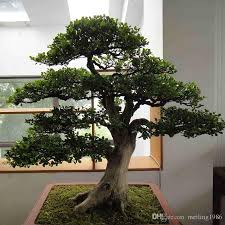 2017 bag banyan tree seeds ficus ginseng seeds bonsai seeds green