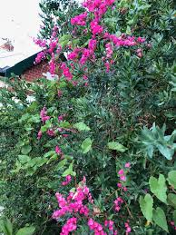 Tropical Plants Perth Antigonon Leptopus Coral Vine Flowering Perth January