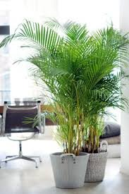 5 great indoor plants that you wont kill feng shui plants and