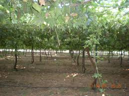 my table grapes a sea of grenneries u2013 invironment u2013 medium