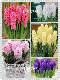 easy flowers to grow indoors big promotions 100pcs a bag are kaempferia rotunda seeds garden