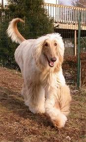 afghan hound lifespan afghan hound my fave as a kid mom said no way due to grooming