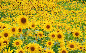 sunflower wallpapers widescreen sunflower 4207722 1920x1200 all for desktop
