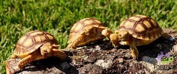 Tortoise Bedding 100 Sulcata Tortoise Bedding Tortoises For Sale Underground