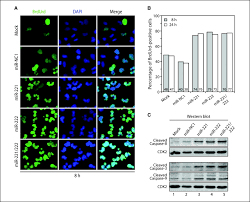 micrornas 221 and 222 bypass quiescence and compromise cell