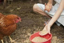What To Feed Backyard Chickens by How And What To Feed Your Chickens Feeding Hens
