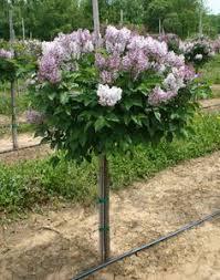 korean lilac palibin standard tree i this in mind
