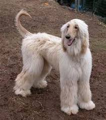 afghan hound puppies california afghan hound afghan hound afghan hounds afghan hound