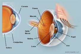 Photos Of Human Anatomy The Eyes Human Anatomy Diagram Optic Nerve Iris Cornea