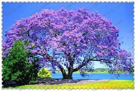 tree with purple flowers 100 pcs bag paulownia seeds princess tree or empress tree