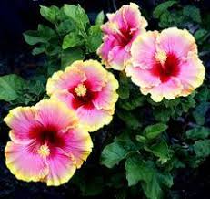 Which State Has A Hibiscus by Propagating Hibiscus Tips For Growing Hibiscus Cuttings And