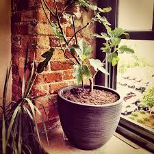 When Does A Lemon Tree Produce Fruit - 6 surprising fruits you can grow organically indoors in containers