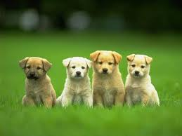 cute puppy wallpaper desktop 52dazhew gallery