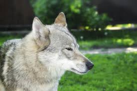 australian shepherd wolf mix these 10 dog breeds look so much like wolves really