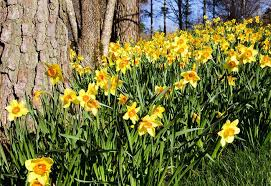 how to plant spring flowering bulbs at the home depot