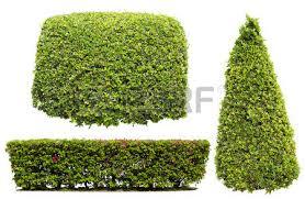 ornamental bush stock photos royalty free ornamental bush images
