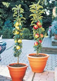 100 apple tree no fruit jujube wikipedia agriculture in