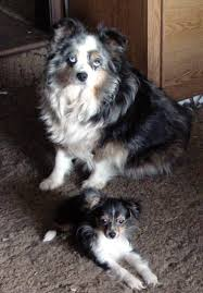3 4 australian shepherd 1 4 blue heeler what is a toy aussie