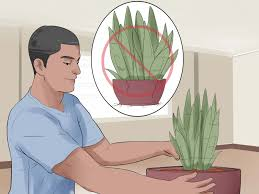 do aloe plants need sunlight 5 easy ways to care for a sansevieria or snake plant wikihow
