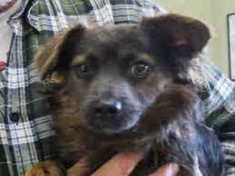 australian shepherd pomeranian mix view ad australian shepherd pomeranian mix dog for adoption