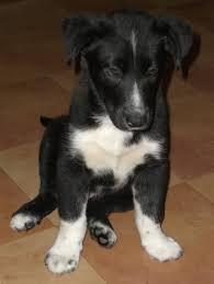 australian shepherd husky lab mix blaze adopted puppy pom kris staunton va border collie