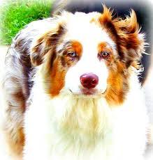 australian shepherd kalamazoo miller u0027s bright eyed aussies